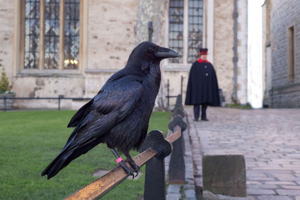 В Лондонском Тауэре должно жить минимум шесть воронов Легенда гласит, что если все вороны покинут Та