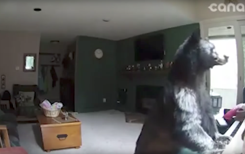 Видеохит: медведь пробрался в дом исыграл напианино