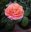 Цветы на моем участке. Розы