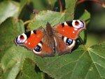 Бабочка Павлиний глаз (Aglais io)