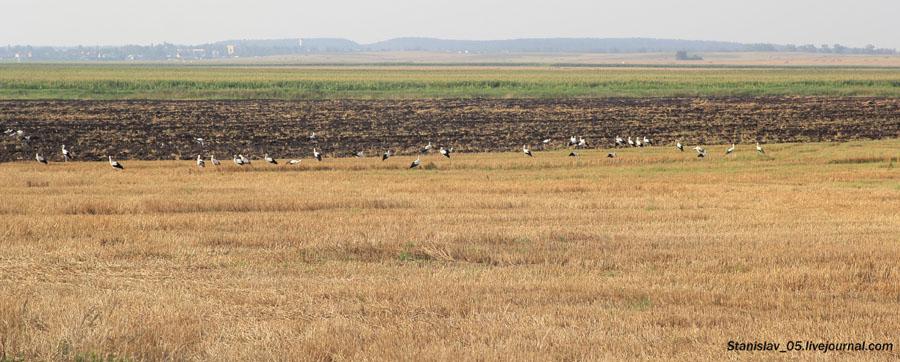 Аисты в поле