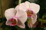 "Орхидеи - Фаленоп ""Полосатик"""