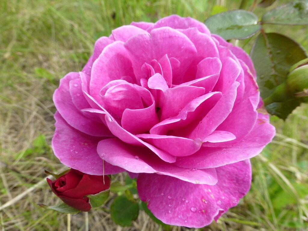 Розы с яйцами и прочие дачные радости L1280024.JPG