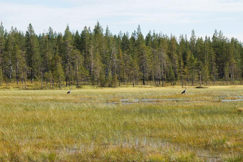 журавли на болоте в лапландии
