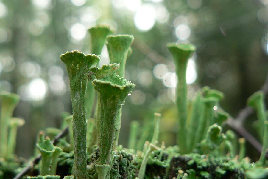лишайниковый лес.jpg