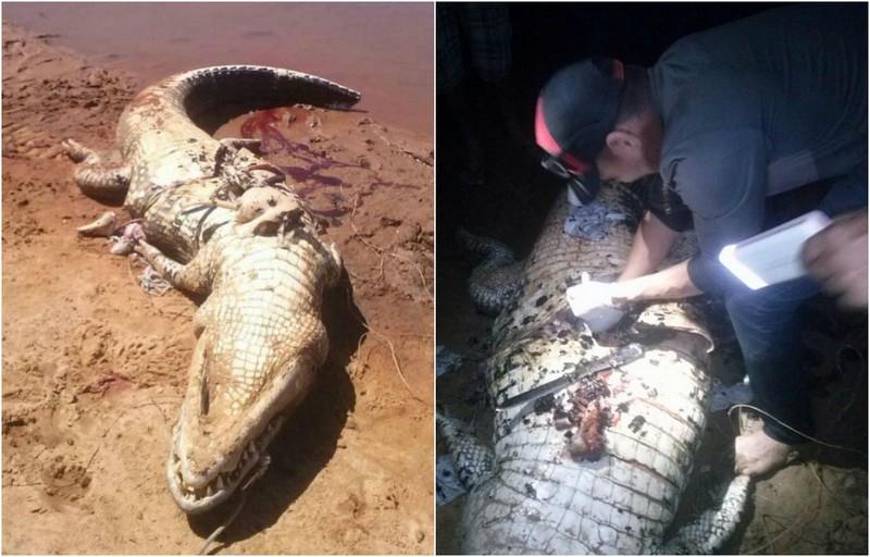 Пропавшего фермера нашли внутри крокодила