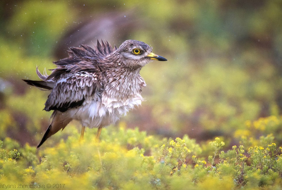 Фотографии и текст WildLife Photo Авдотка — перелетная птица, зимует в Африке. Возвращается в апреле