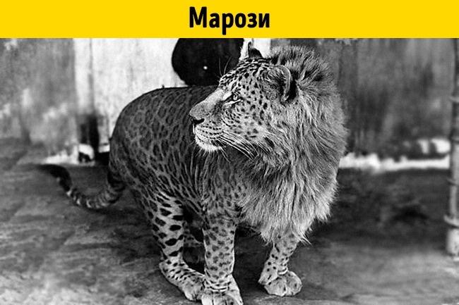 © depositphotos  Пятнистый лев марози — зрелище поистине впечатляющее. Нафотографии— африка