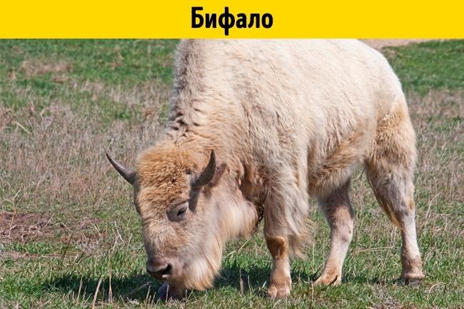 © depositphotos  Бифало внешне больше похож надомашнего быка, даигенетически лишь на3/8 на