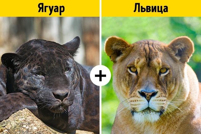 11помесей животных, осуществовании которых вынедогадывались