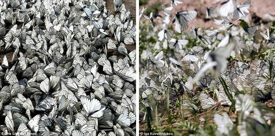 4. Бабочки очень красивы: округлые белые крылья с толстыми черными прожилками.