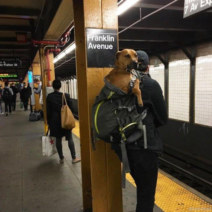 Собаководы Нью-Йорка просто добавили в программу дрессировки своих питомцев команду «полезай в сумку