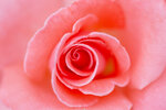 pink delicate rose close up