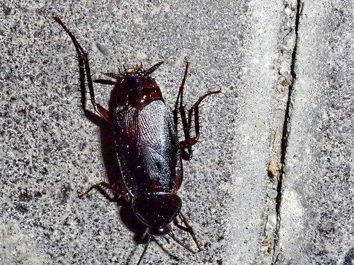 Ночной жук