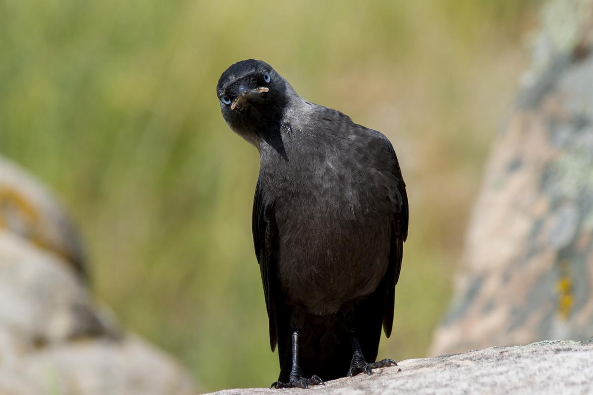 галка птица фото 3