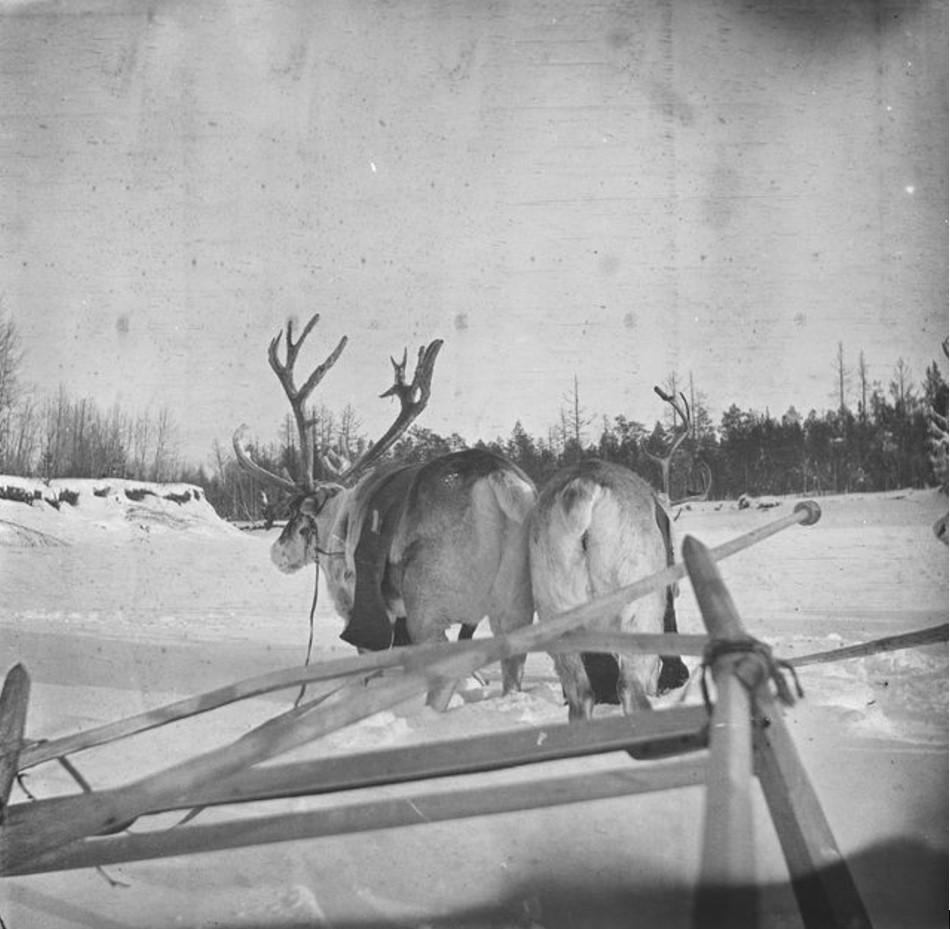Кай Доннер на санях, запряженных оленями