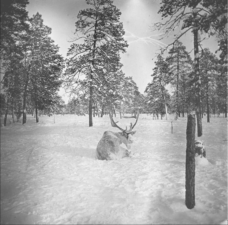 Олень в заснеженном лесу