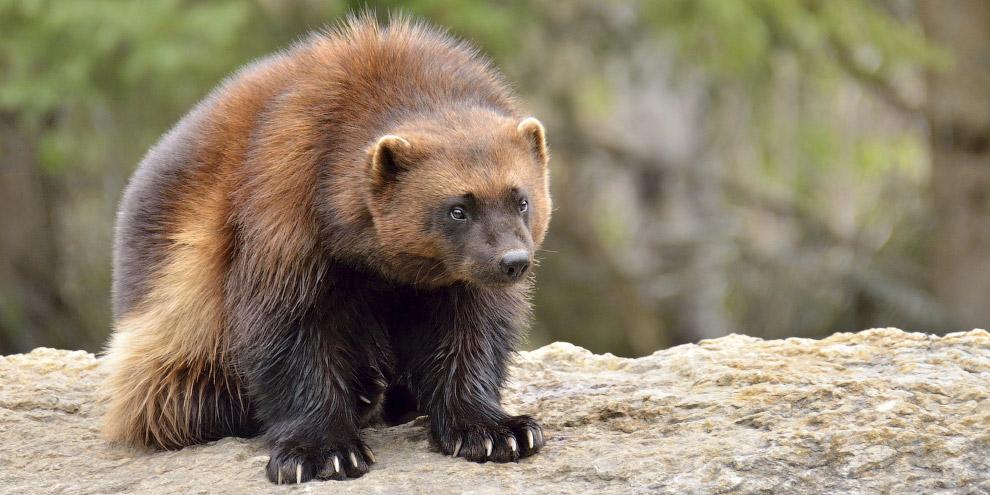 Отдельно хочется сказать о том, насколько все-таки это животное жестоко и агрессивно. Известно,