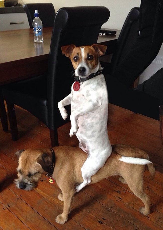 © imgur  Это самая странная собачья привычка извсех, что явидел
