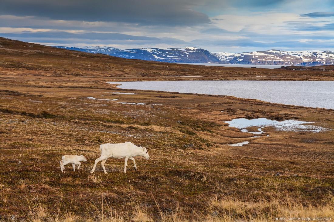 2. По пути часто встречались олени, небольшими кучками пасущиеся на обочинах дороги. Удивительно — м