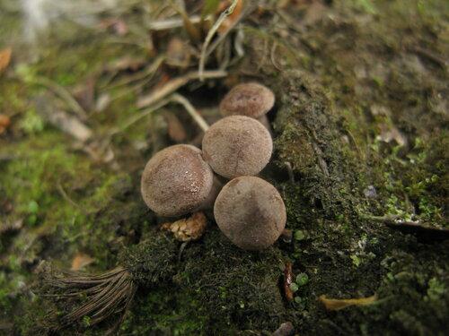 Млечник сосочковый (Lactarius mammosus). Млечники заметно припозднились в этом году, как, впрочем, и многие другие пластинчатые грибы Автор фото: Станислав Кривошеев