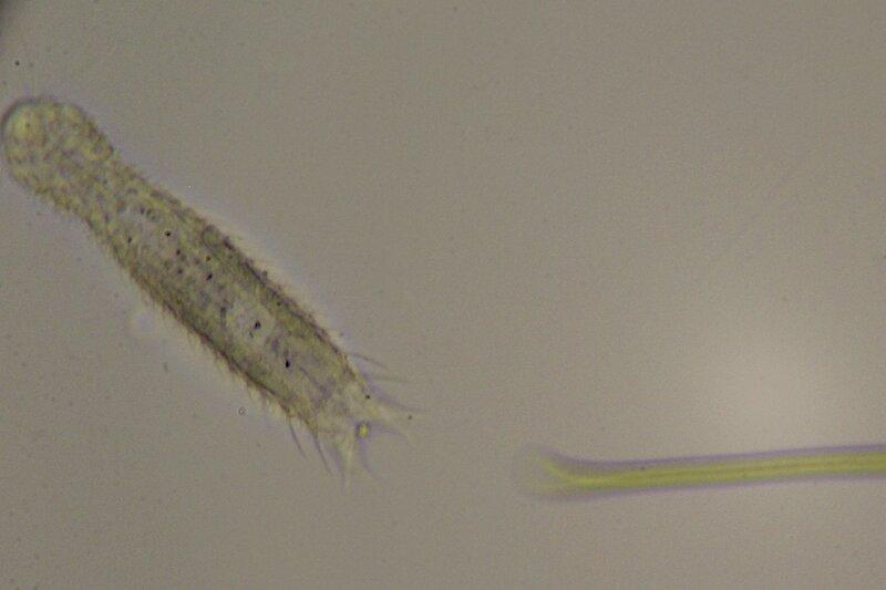 Капля болотной воды под микроскопом: многоклеточное живое существо со множеством щетинок