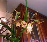 Орхидеи - Miltassia 'Shelob Tolkien'