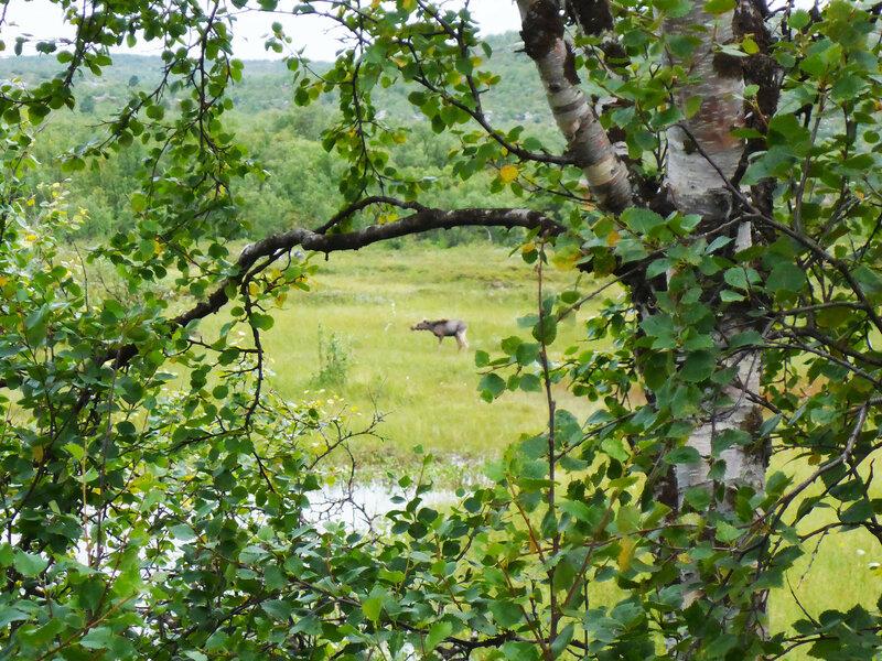 лось в северной норвегии