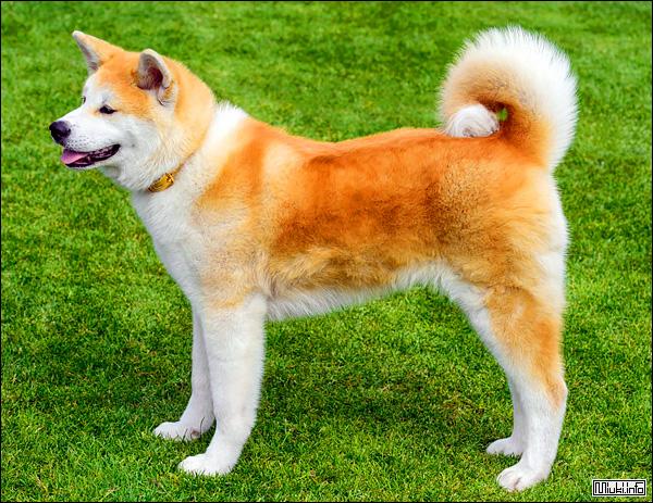 Акита-ину (японская порода собак)