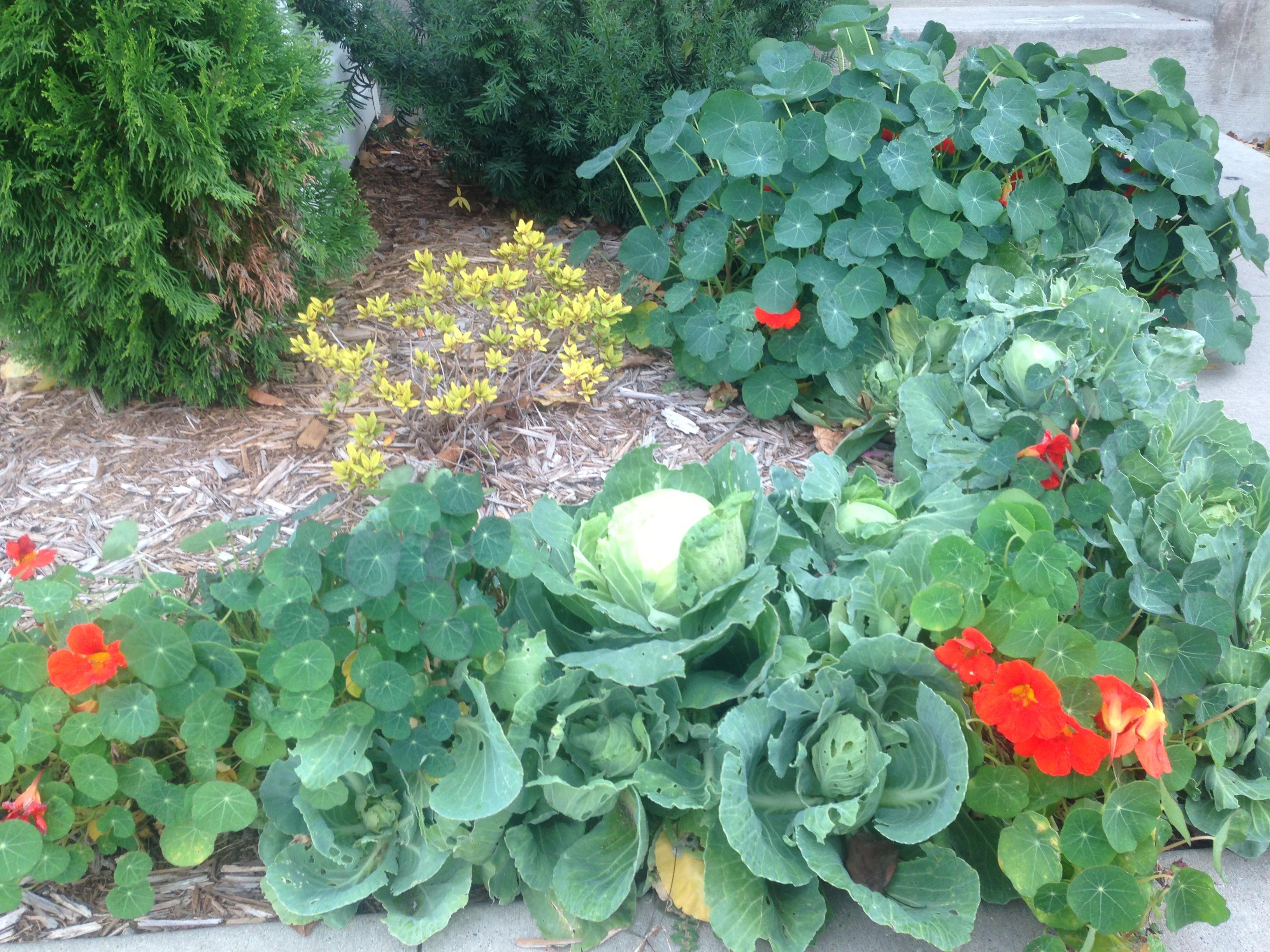 Настурция в саду-настурция, капуста