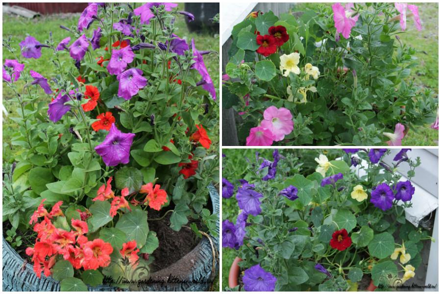 Настурция в саду-настурция, петуния