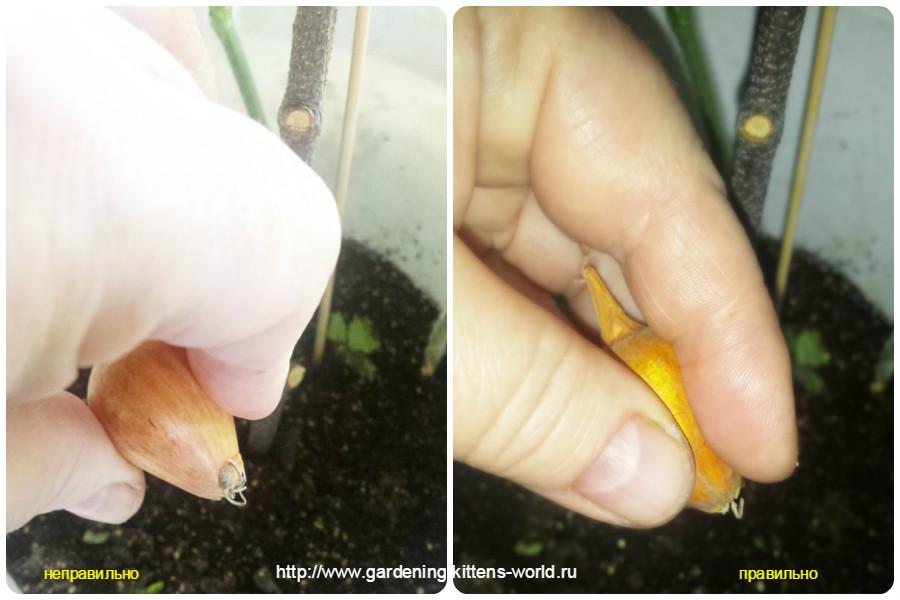 Секреты выращивания репчатого лука из севка