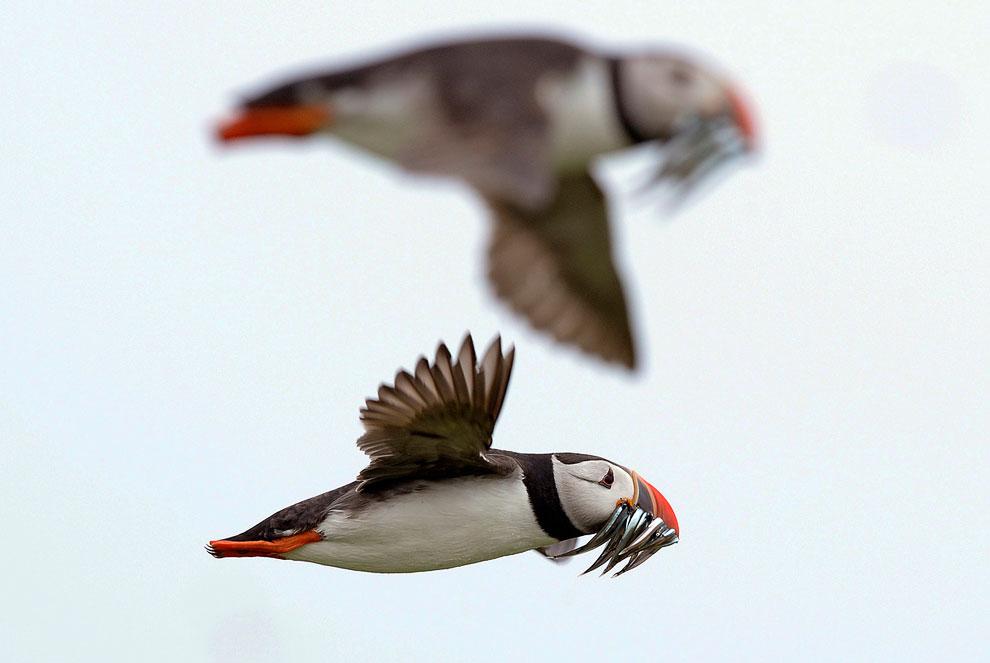 А тем временем на островах Фарн наступила ночь. Также смотрите « Птичьи рекорды: самые-самые пт