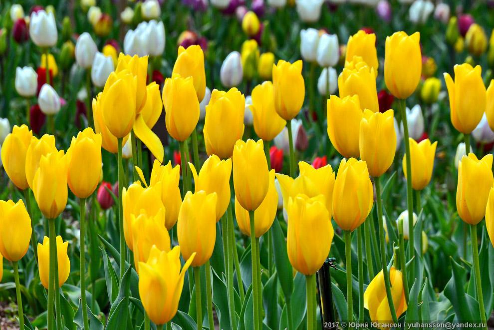 10. В мире существует 80 видов тюльпанов. Центр происхождения и наибольшего разнообразия видов