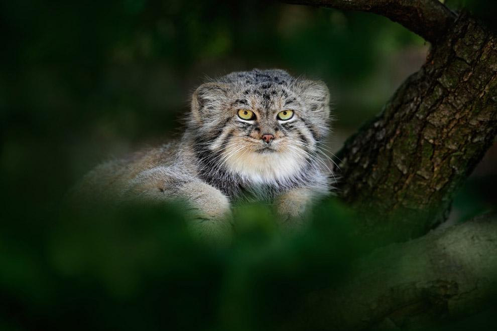 7. Сайга (самка сайгака) — животное, находящееся на грани вымирания. Когда-то сайгаки обитали н