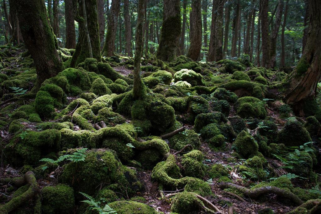 «Аокигахара» переводится как «Равнина синих деревьев» , ноэто место известно также как «Лес самоуби