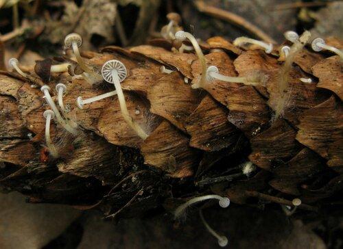 Стробилюрус съедобный (Strobilurus esculentus). В некоторых местах уже в марте было довольно много. Но в основном попадались новорожденные экземпляры. Были и альбиносы Автор фото: Станислав Кривошеев