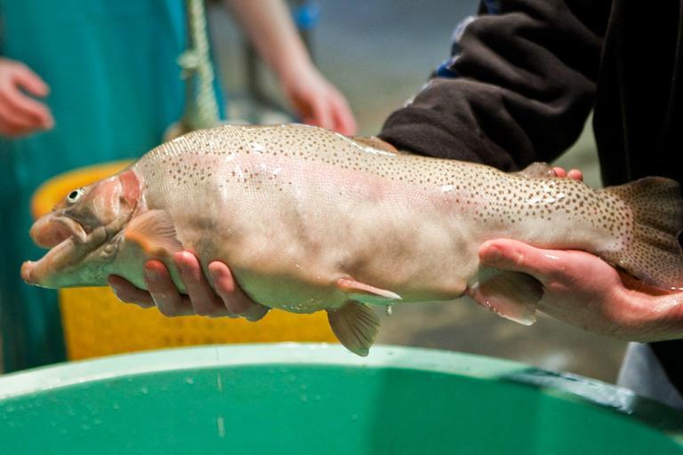 Рыбы-мутанты в огромных количествах появляются вСША