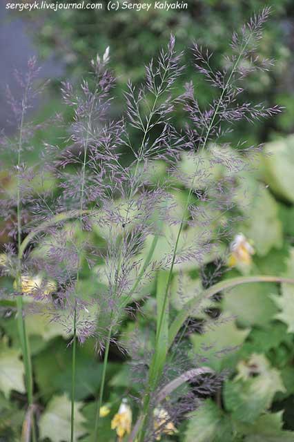 Calamagrostis brachytricha Mona (2).JPG
