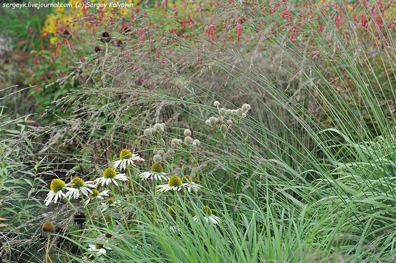 Eryngium yuccifolium Echinacea Molinia.JPG