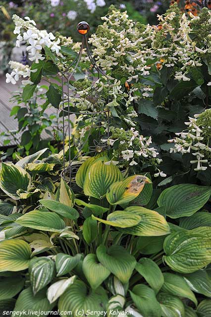 Hydrangea paniculata Butterfly (3).JPG