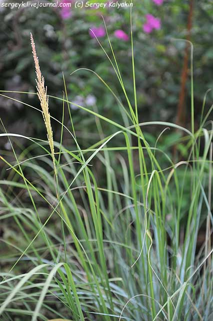 Sporobolus wrightii (2).JPG