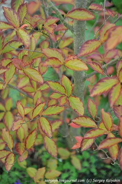 Stewartia sinensis.JPG