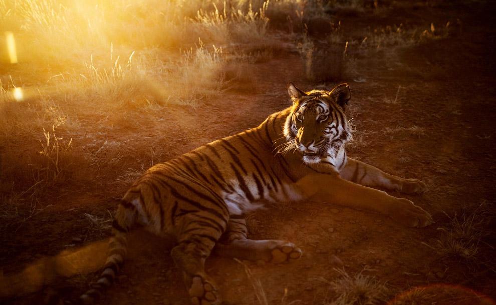 5. Внешне китайский тигр больше похож на амурского тигра, нежели на представителей южных подвид