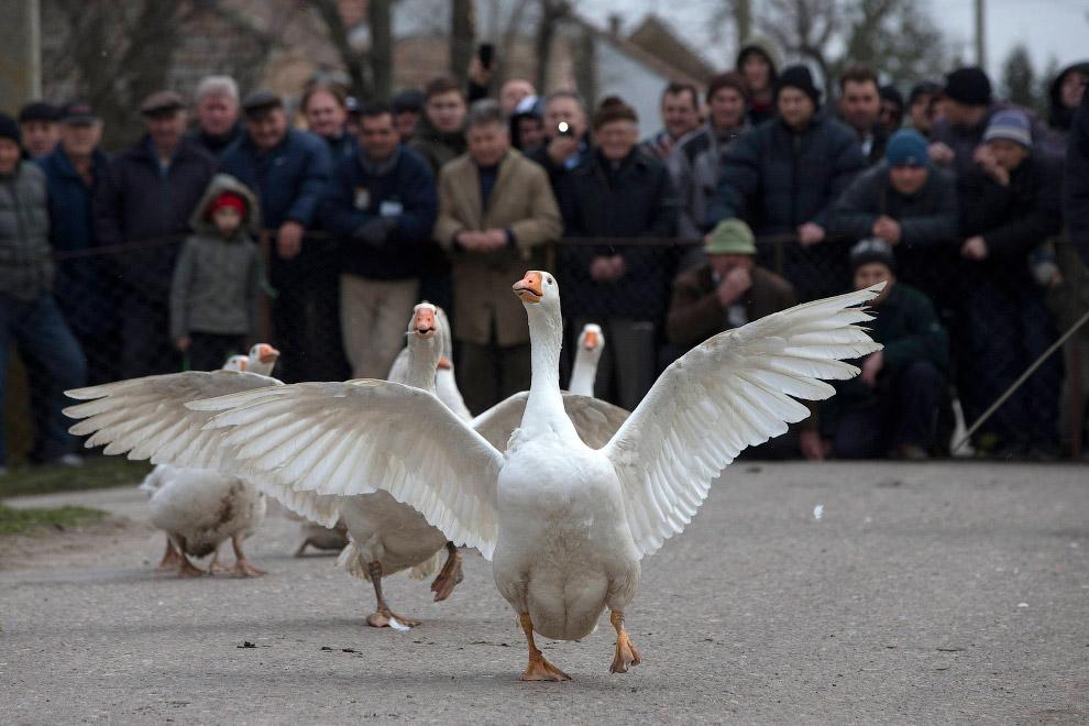 9. По традиции, пока в сербском селе Мокрин проходят гусиные бои, в селе Лозовик в 100 км от Бе
