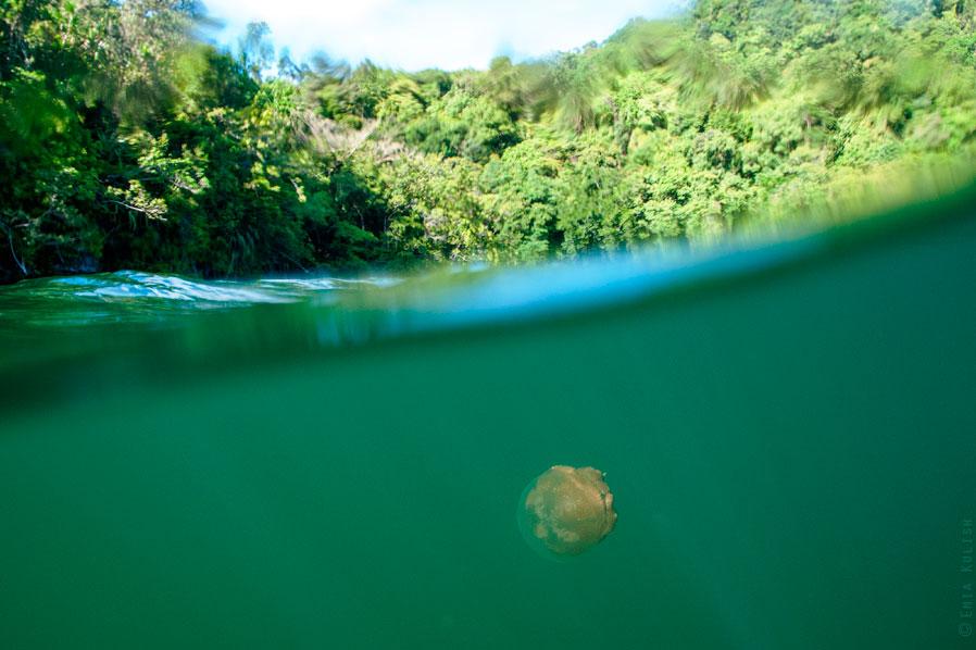 И это не просто медузы, а особая популяция сцифоидных медуз. За время обособленного существован
