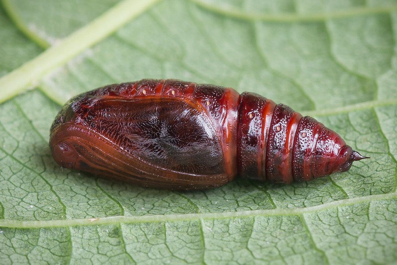 Куколка пяденицы Abraxas sylvata (Geometridae: Ennominae) Автор фото: Владимир Брюхов