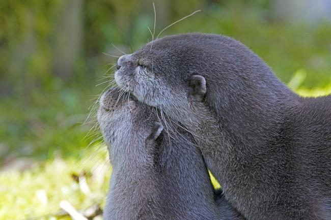 © Georg_Wietschorke  Довольно долгий процесс ухаживания укаланов очень подвижен иигрив. Пара