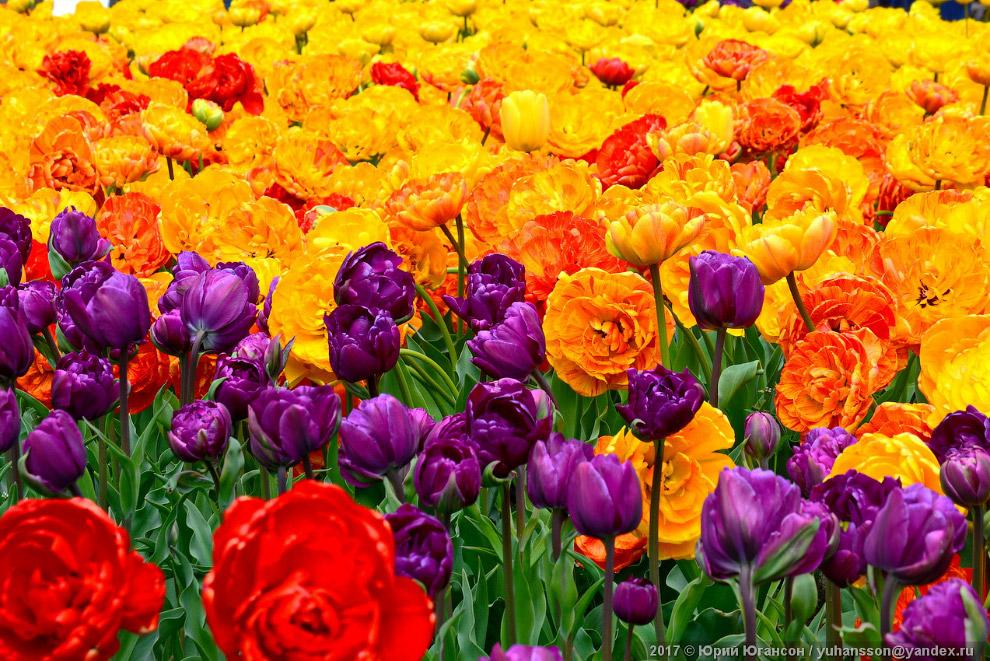 11. Развитие тюльпана от семени до цветущего растения занимает от трёх до семи лет.
