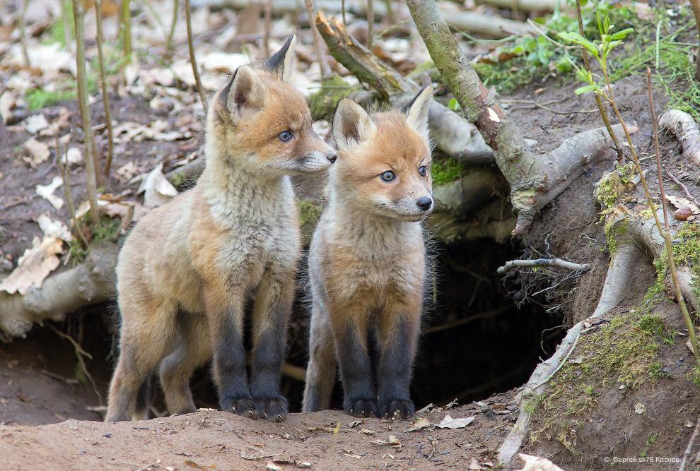3. Наверное, это происходит от того, что лисы, в полном смысле «очеловечиваться», если можно та